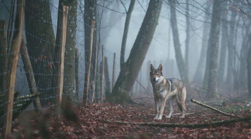 Wilki w gminie Lubiewo